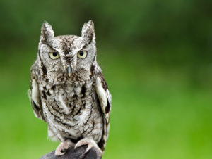 Portrait of Eastern Screech Owl (Megascops asio), against smooth green background, copy space